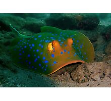 Blue-spotted Ribbontail Ray Photographic Print