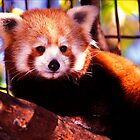 Red Panda by ©  Paul W. Faust