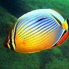 Reddfin Butterfly Fish by Robbie Labanowski