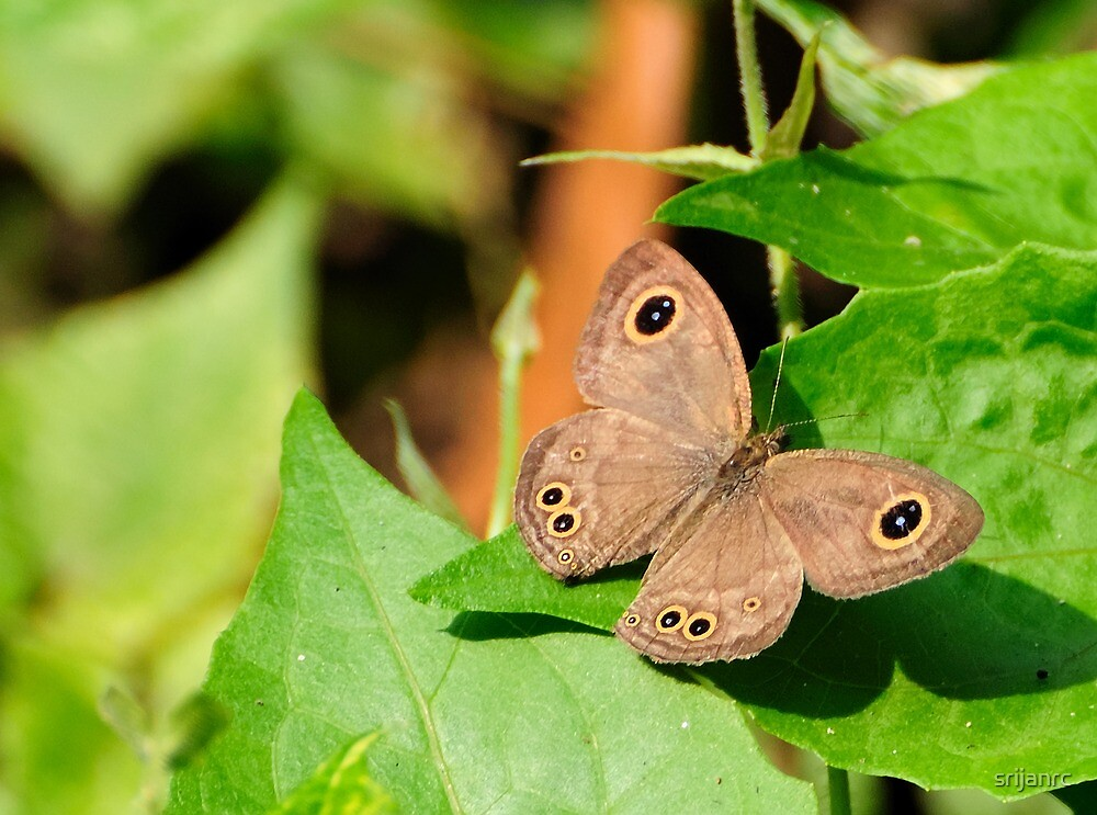 Butterfly on Green by srijanrc