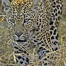 Leopard on the hunt-stalking! by jozi1