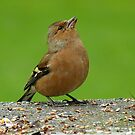 Hey, There Is Plenty Down Here! - Chaffinch - NZ by AndreaEL