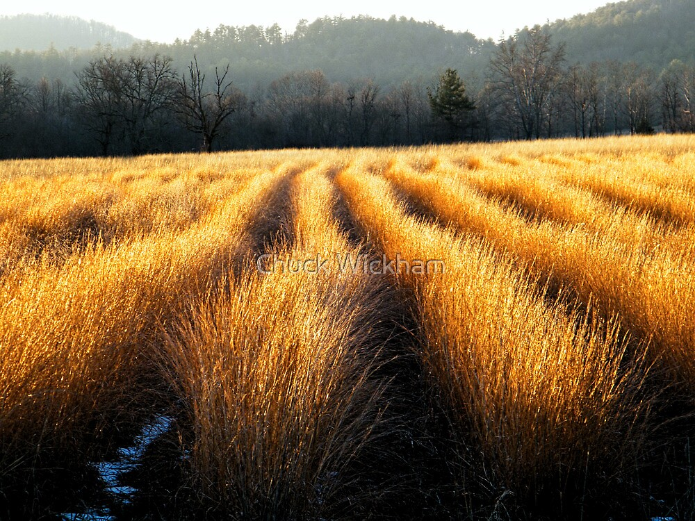 SUNLIT GRASSES,CADES COVE by Chuck Wickham