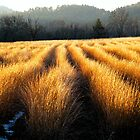 SUNLIT GRASSES,CADES COVE by Chuck Wickham