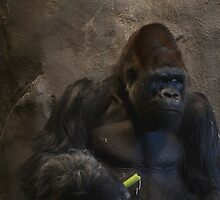 Gorilla at the Woodlands Zoo by Kate Farkas