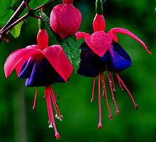 FUSHIA DOLLS by RoseMarie747