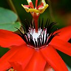 Red Passion Flower by patti4glory