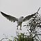 Black Shouldered Kite by paulinea