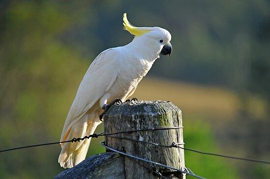 Sulphur Crested Cockatoo. Brisbane, Queensland, Australia. (2) by Ralph de Zilva