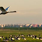 Zwan and gooses by THHoang
