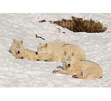 Three not so bad wolves Photographic Print