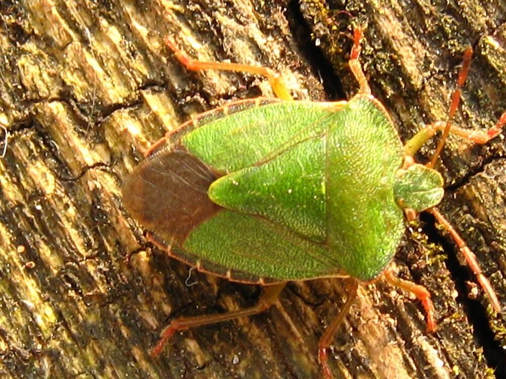 Green shield bug. by jams