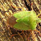 Green shield bug. by jams