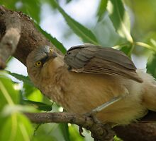 Annoyed babbler by magiceye