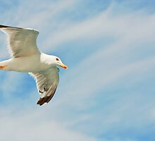 Seagull flying by DanielVijoi
