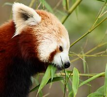 Red Panda © by Cath Ollenberg