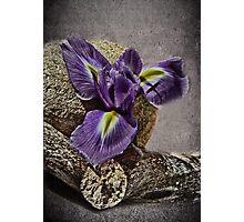 Bearded Iris -  Still Life Photographic Print