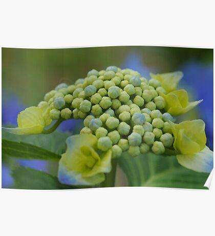 Hydrangea Buds Poster