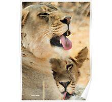 """""""Affectionate grooming"""" - Panthera leo, Kalahari lions Poster"""