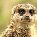 meerkat/stokstaartje 2 by Dirk van Laar