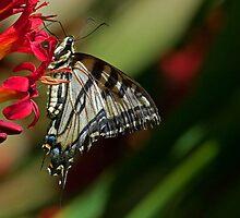 Tiger Swallowtail Feeding by Randall Ingalls