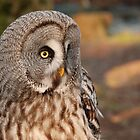 Grey owl in the afternoon by Angus Russell