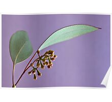 Eucalyptus Leaves And Buds - Macro  Poster