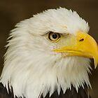 Bald Eagle by spredwood
