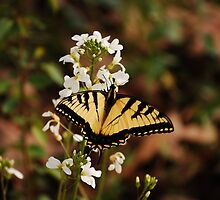 Eastern Tiger Swallowtail by Joey Bamburg
