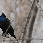 Common Grackle by BTroy