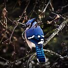 Bluebird on Branch by kflanary
