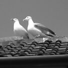 Pair of gulls in B/W by jams