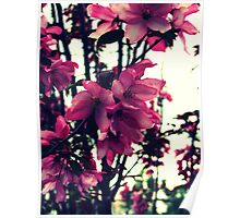 Pink Blooms - Spring in New England Poster