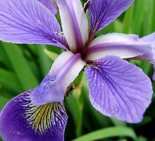 Wild Iris by vigor