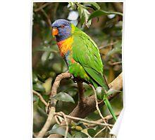 Rainbow Lorikeet - Trichoglossus haematodus Poster