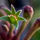 kangaroo paw flowers by Celeste Mookherjee
