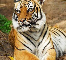 Malayan Tiger by ggpalms