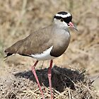 Spur-winged Lap-wing Plover, Kenya   by Carole-Anne