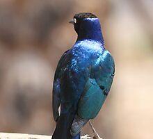 Superb Starling, Kenya by Carole-Anne