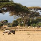 Wildebeest. White Race, Kenya.  by Carole-Anne