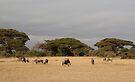Wildebeest, White Race, Kenya  by Carole-Anne