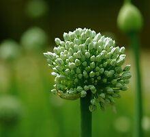 Onion flower by Dr. Harmeet Singh