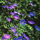 WILD GERANIUMS by Chuck Wickham