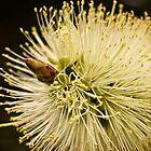 Lemon bottlebrush bloom by Celeste Mookherjee