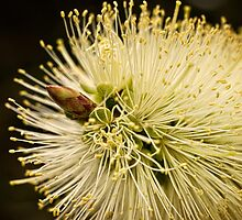 Lemon bottlebrush bloom by Celeste Mookherjee