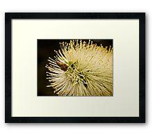 Lemon bottlebrush bloom Framed Print