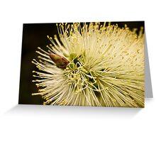 Lemon bottlebrush bloom Greeting Card