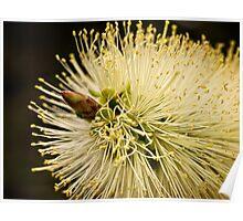 Lemon bottlebrush bloom Poster