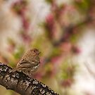 House Finch by Chris Morrison