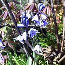 Budding Bluebells by one-blind-eye